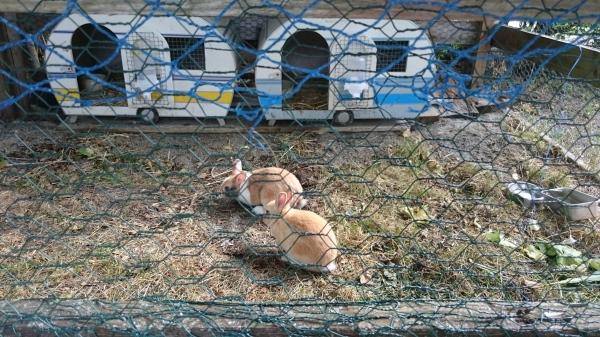 Klauserhornin kämppärin kanit