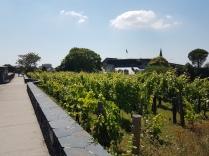 """Cháteau D'Angers - """"katolla"""" oleva viiniviljelmä"""